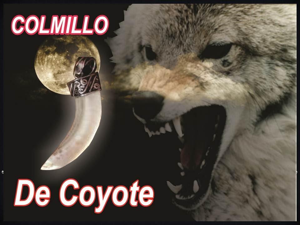 como identificar un colmillo de coyote