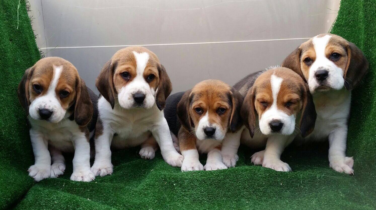Como adiestrar a un Beagle cachorro
