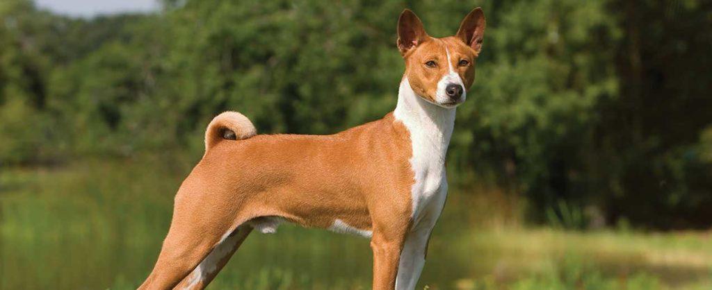 educar a un perro Basenji