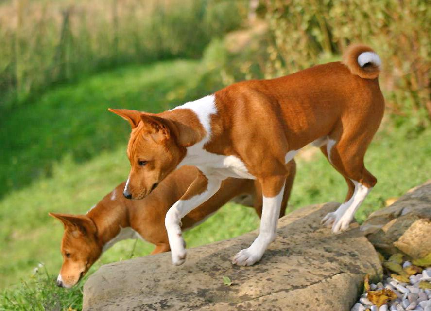 Como educar a un perro Basenji