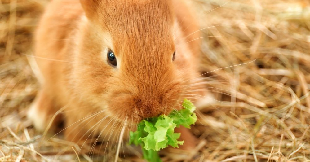 Que comen los conejos