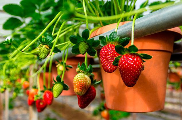 como plantar fresas