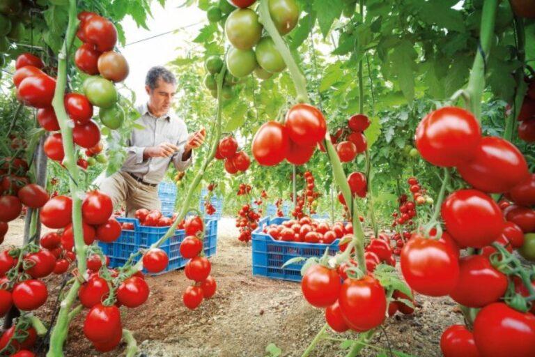 como sembrar tomates